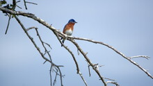 Eastern Bluebird (Sialia Sialis) Perched In A Tree In A Backyard In Panama City, Florida, USA