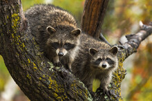 Raccoons (Procyon Lotor) Stare Out From Tree In Rain Autumn