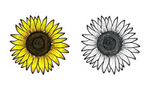 Sunflower Hand Drawn With Color And Black White, Flower Vector, Sunflower Hand Drawn, Sunflower Illustration