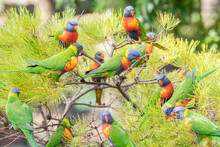 Group Of Colourful Lorikeets In Australia All Chatting Together On A Tree Outdoors
