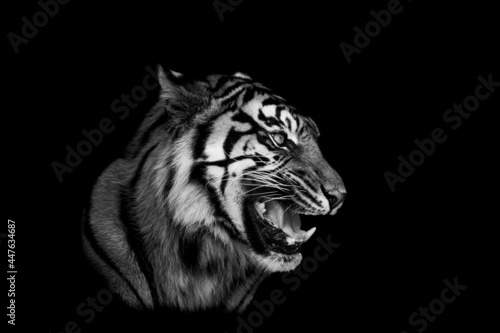 Canvas Sumatra tiger with a black background