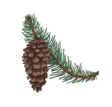 Pine Tree Branch With Evergreen Needles And Cone. Coniferous Twig With Pinecone. Realistic Botanical Vintage Drawing Of Conifer Sprig. Hand-drawn Vector Illustration Isolated On White Background