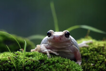 Close-up Of An Australian Green Tree Frog On Moss, Indonesia