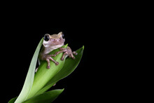 Close-up Of An Australian Green Tree Frog On A Plant, Indonesia