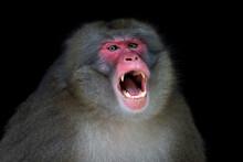Portrait Of A Japanese Macaque Monkey Snarling, Indonesia