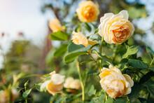 Yellow Rose Graham Thomas Blooming In Summer Garden. English Austin Selection Roses Flowers