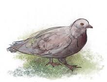 Walking Adolescent Collared Dove Illustration Sketch