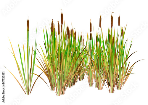 Fototapeta 3D Rendering Bulrush Plants on White