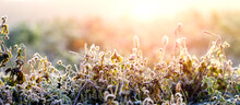 Frost-covered Dry Plant Stems In Winter Morning During Sunrise In Sunlight