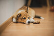 happy corgi puppy