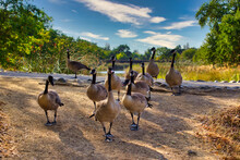 Flock Of Canada Geese On Ground Close Up