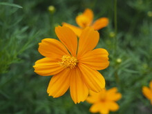 Cosmos Yellow Flower Or Cosmos Sulphureus Is A Flowering Plant That Comes From Mexico And Belongs To The Cosmos Family. This Plant Is Also A Natural Habitat For The Insect Anagrus Nilaparvatae.