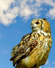 Eurasian Eagle Owl With Blue Sky