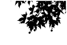 Black Sycamore Leaves With Seeds On A White Background. Silhouettes Of Leaves With Branches Hanging Overhead. Vector Graphic.
