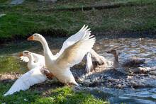 Group Of White Pekin Ducks Quacking Group Of White Pekin Ducks Quacking Geese Duck Stock Pictures
