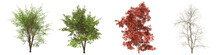 Green Trees Isolated On White Background. Japanese Maple Tree Matures In All Seasons. Acer Palmatum Tree Isolated With Clipping Path 3D Illustration