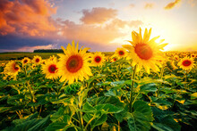 Majestic Scene Of Vivid Yellow Sunflowers In The Evening.