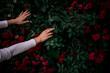 róże, krzew róży