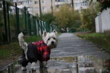 Westie After Rain