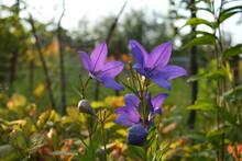 Beautiful Purple Flowers Of Platycodon Grandiflorus In Autumn Garden