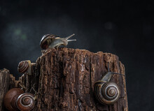 Snails With Brightly Colored Spiral Houses Crawl Along An Old Tree Stump Against A Dark Background. Selective Focus. Bokeh.