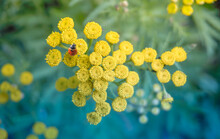 Yellow Tansy Flowers. Tansy During The Flowering Period, Ladybug Red On The Yellow Flowers Of The Tansy Of The Aster Family. Soft Selective Focus