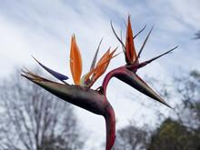 View Of Common Bird-of-paradise Flower Strelitzia Reginae Flowers