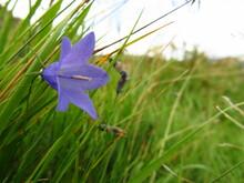 Polny Fioletowy Kwiat W Trawie