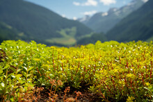 Blooming Sedum Rooftop Garden On A Green Hotel Roof In Südtirol With Mountains In The Background