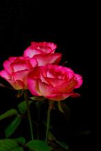 黒の背景のピンクの美しいバラの写真