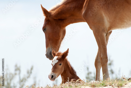Canvas Grand Turk Island Mother Horse And The Foal