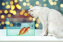 British Shorthair Cat Watching Goldfish In An Aquarium.