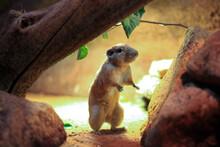 Meerkat On The Ground