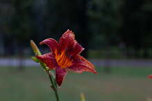 Red And Yellow Lily