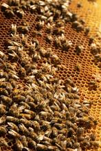 Honey Bees Crawling On Honeycomb
