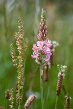 Saat-Esparsette, Futter-Esparsette // Common Sainfoin (Onobrychis Viciifolia)
