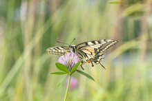 Swallowtail Butterfly (Papilio Machaon) On A Clover Blossom. Ventral View.