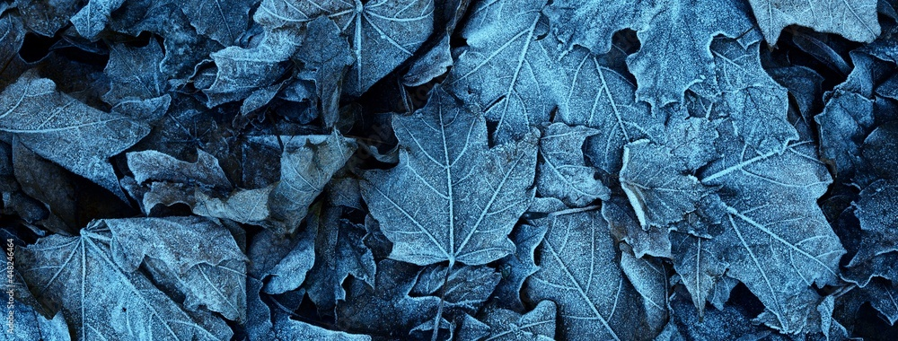 Maple leaves covered with crystal clear hoarfrost. Texture, background, wallpaper, graphic resources. Mysterious blue color. Atmospheric landscape. Winter wonderland. First snow, climate change