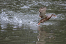 Duck, Bird, Water, Nature, Lake, Animal, Wildlife, Mallard, Swimming, Pond, Goose, Wild, Feather, River, Beak, Duckling, Swim, Birds, Waterfowl, Wing, Blue, Feathers, Fly, Brown, Fowl, Geese, Spring,