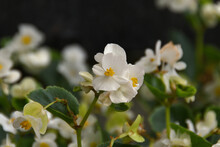 Close-up Of A White Begonias In A Park Bed In Natural Daylight With Bokeh Of Other Begonias.