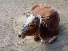 Zebu Cow At Zoo In Romania