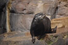 Otter In The Zoo