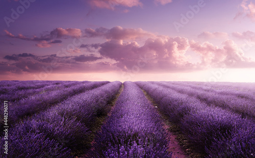 A vivid purple blooming lavender field in summer at sunset. Flower field landscape in the UK.
