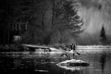 Black And White Two Geese On A Rock