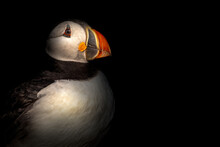 Atlantic Puffin Against A Black Background