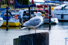 Seagull Standing On A Pile At The Harbor Of Warnemünde (Rostock) On The Baltic Sea (inland Sea)