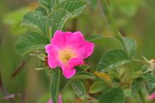 Close Up Image Of A Pink Dog Rose At Bishop Middleham Nature Reserve, County Durham. England UK.