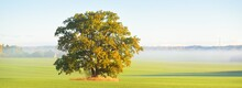 Mighty Oak Tree With Green And Golden Leaves On The Plowed Agricultural Field With Tractor Tracks At Sunrise, Close-up. Morning Fog. Picturesque Autumn Scenery. Nature, Trees, Farm, Lumber Industry