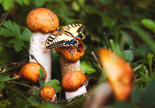 A Butterfly Landed On The Red-headed Mushrooms