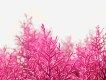 Pink Color Tropical Grass View Behind Sky Backdrop.